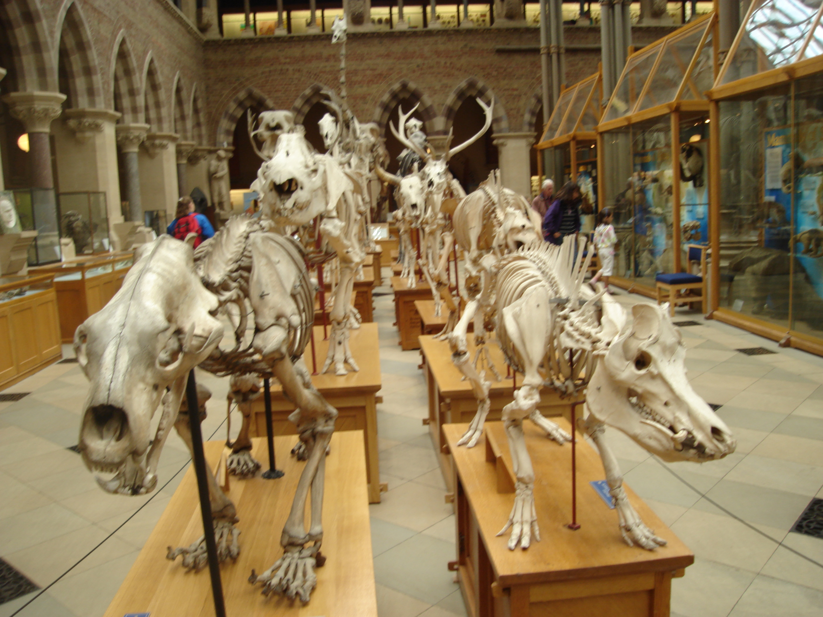 Dinasours in Oxford Museum, UK